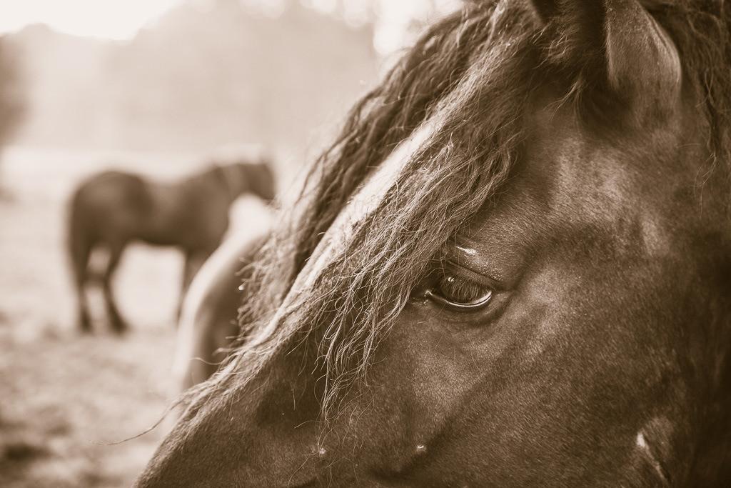 Pferdeprofil   Pferdekopfprofilaufnahme in Sepiatönen mit weiterem Pferd im Hintergrund.
