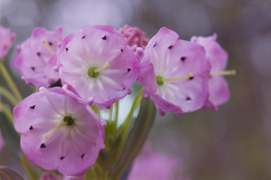 Zwerg-Berglorbeer   Blumenmotiv