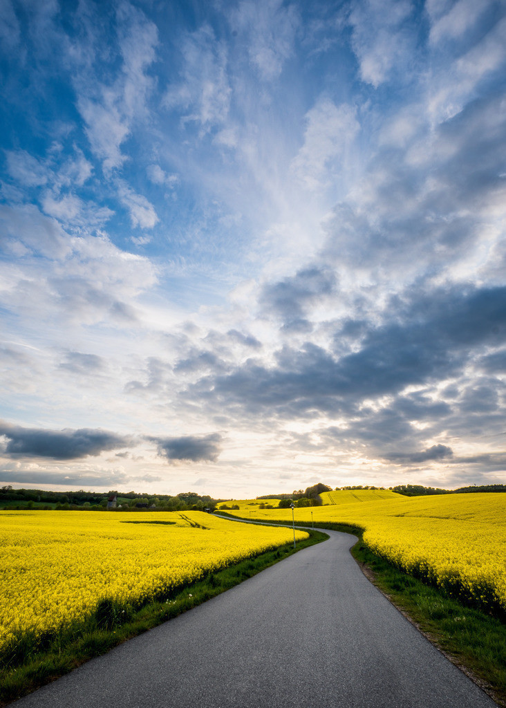 The Yellow Road | Kleine Landstraße in Ostholstein zur Rapsblüte