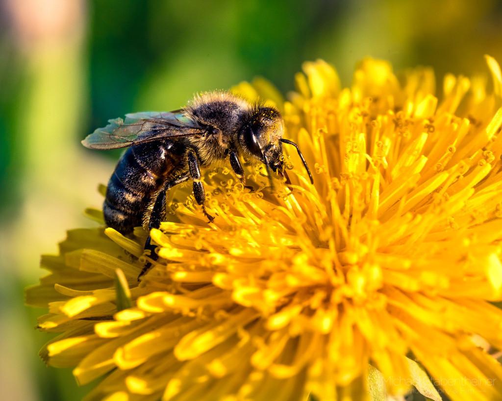 Biene | Eine Biene auf einer Blume
