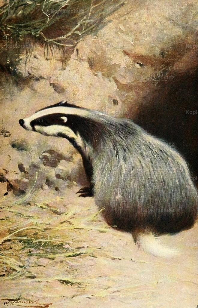 Kuhnert_ F.W. (1865-1926) - Wild Life of the World 1916 - Badger