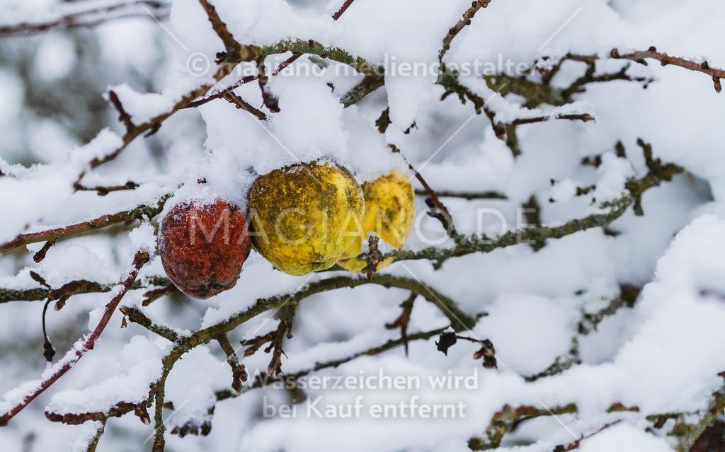 Hängen gebliebene Äpfel im Schnee