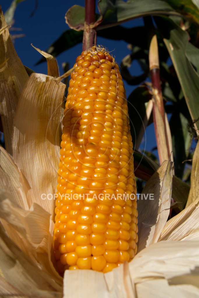 20110930-IMG_0093   reife Maiskolben - AGRARMOTIVE Bildagentur