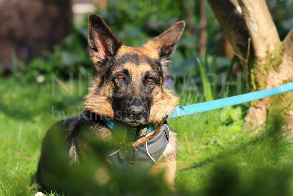 Schäferhund im Garten
