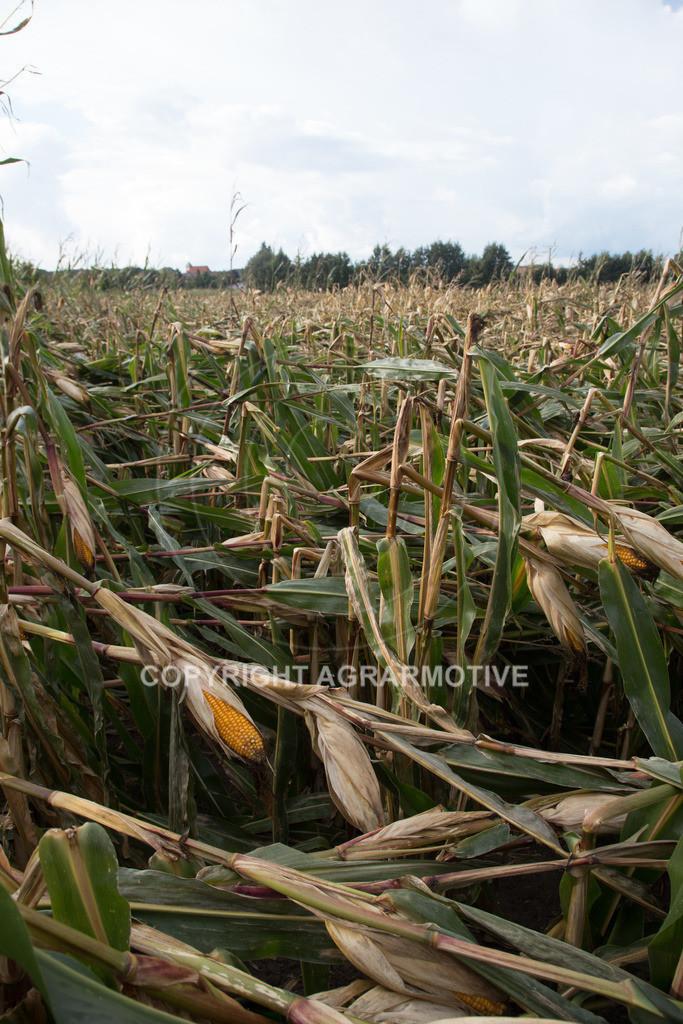 20170917-IMG_1140   Ernteschaden im Mais durch Herbssturm
