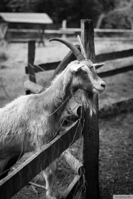 Ziegenbock in Monochrom  | Ziegenbock in schwarz und weiß