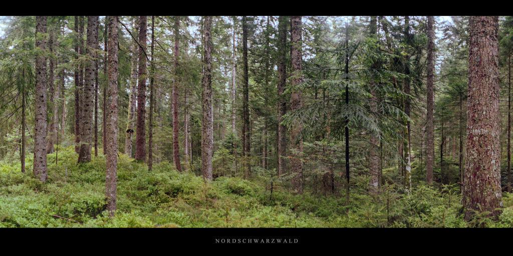 Moor Schurmsee | Wald und Hochmoor mit Fichten und Tannen am Karsee Schurmsee im Schwarzwald