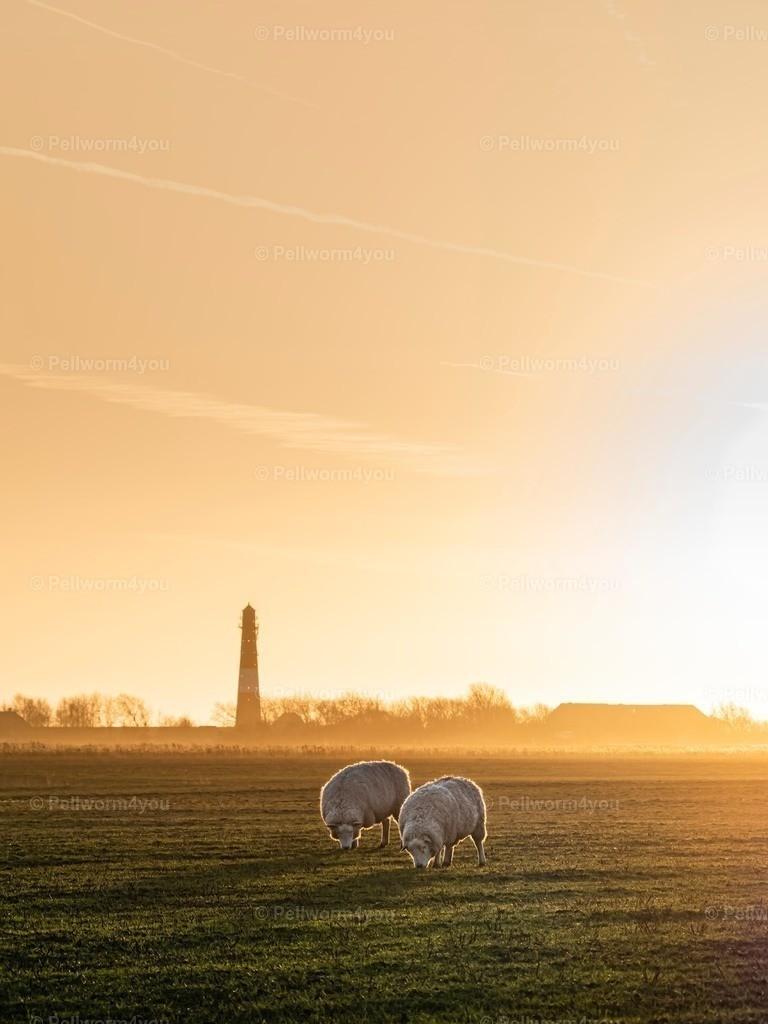 Schafe am Leuchtturm im goldenen Licht