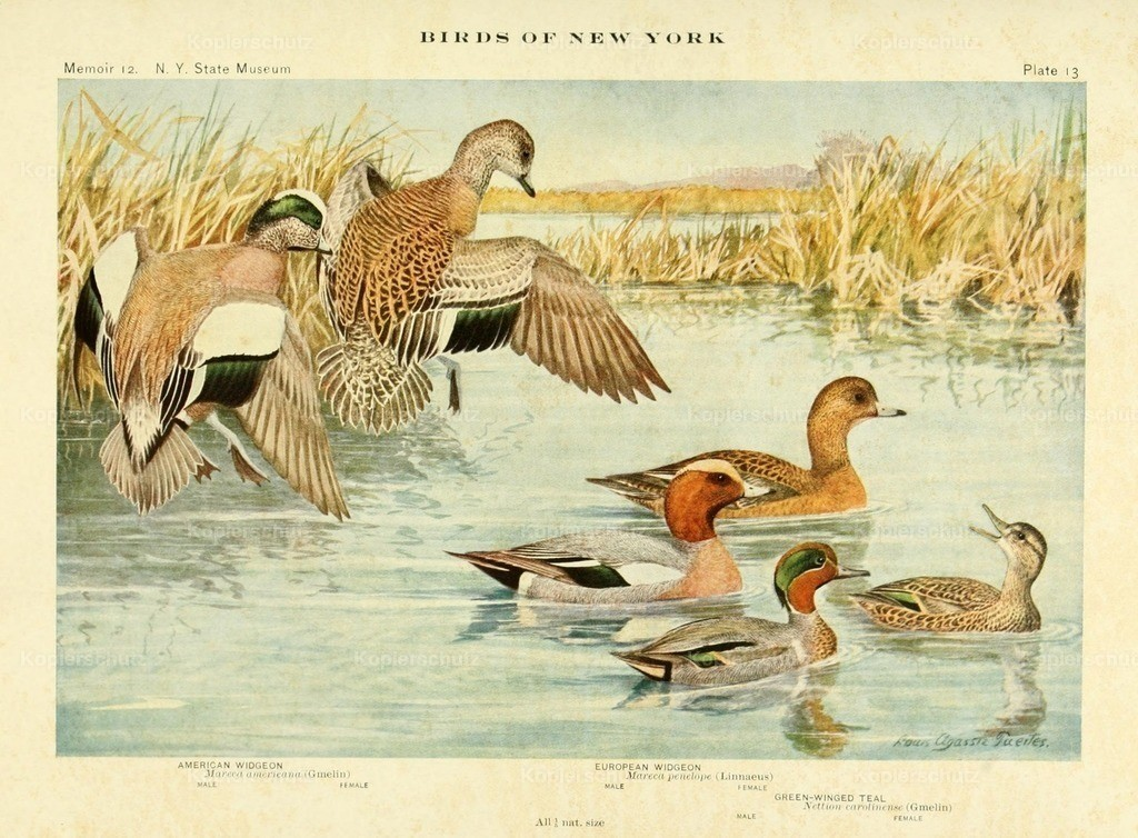Fuertes_ L.A. (1874-1927) - Birds of NY 1914 - Widgeons