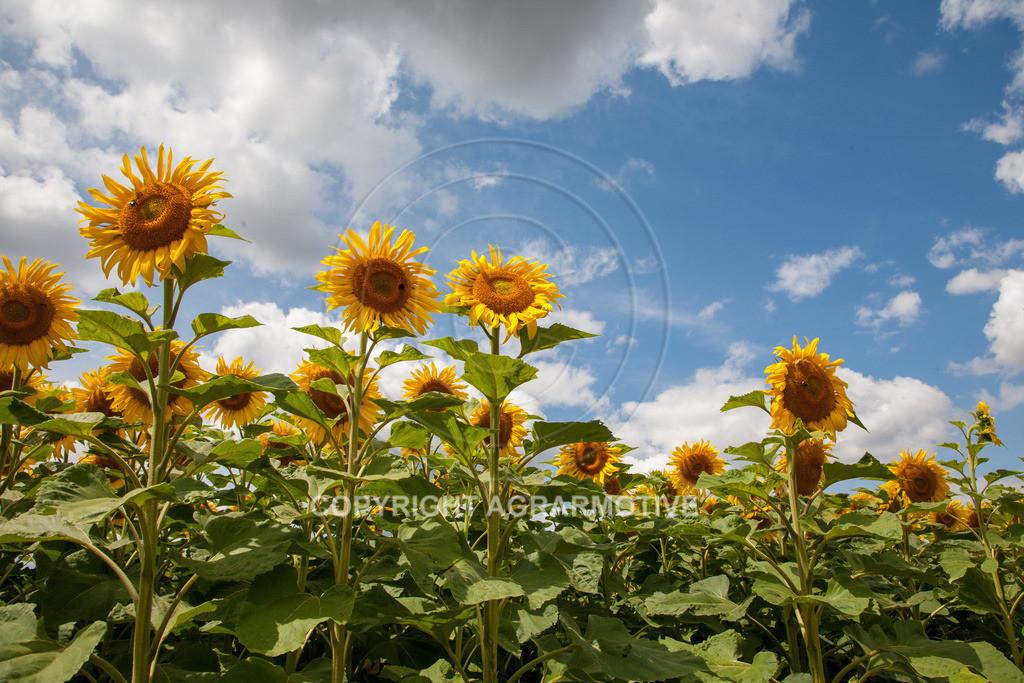 20090711-IMG_3690 | blühende Sonnenblumen im Sommer - AGRARMOTIVE Bilder aus der Landwirtschaft
