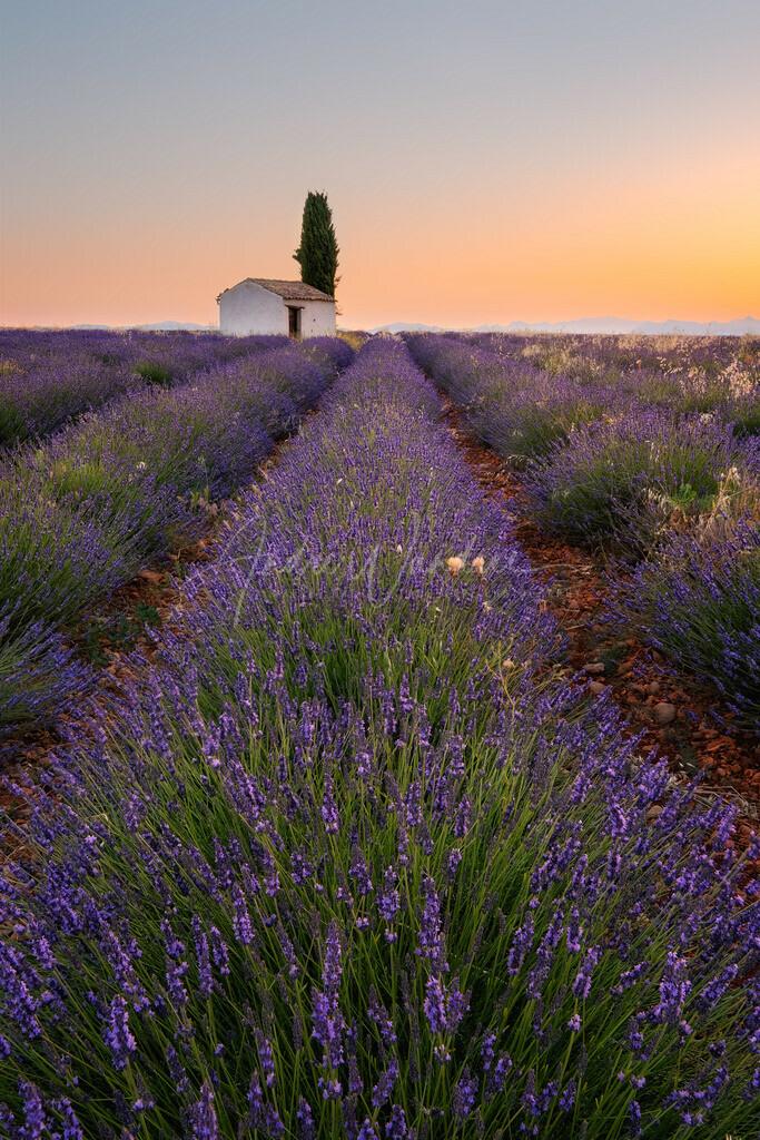 Lavendelmorgen (Hochformat)