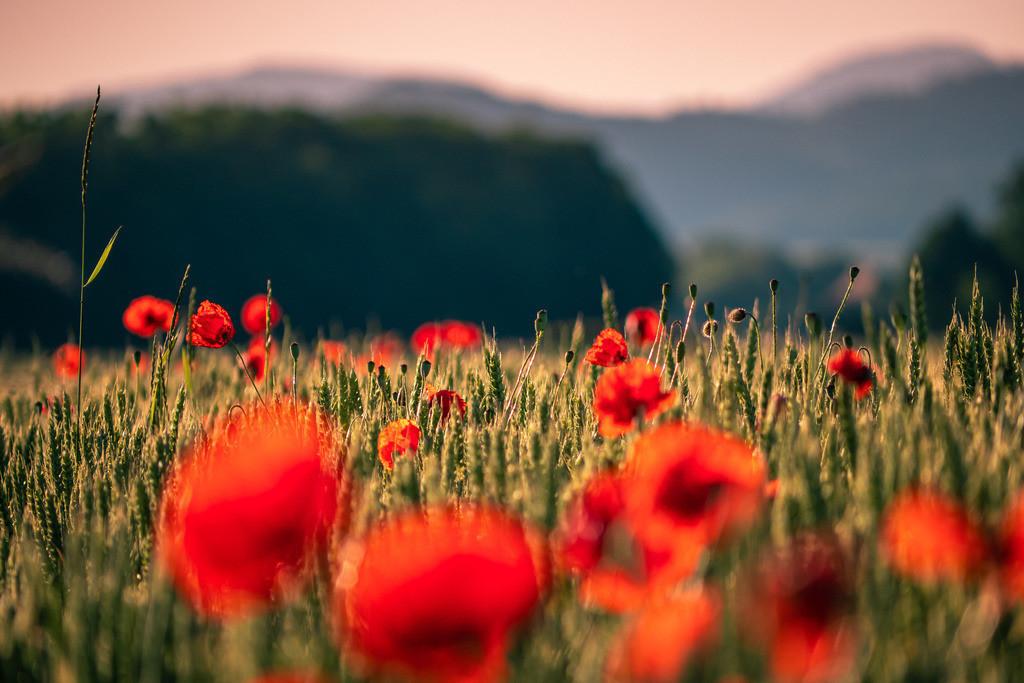 Mohnblumen | Rot leuchtendes Mohnblumenfeld in der Rheinebene