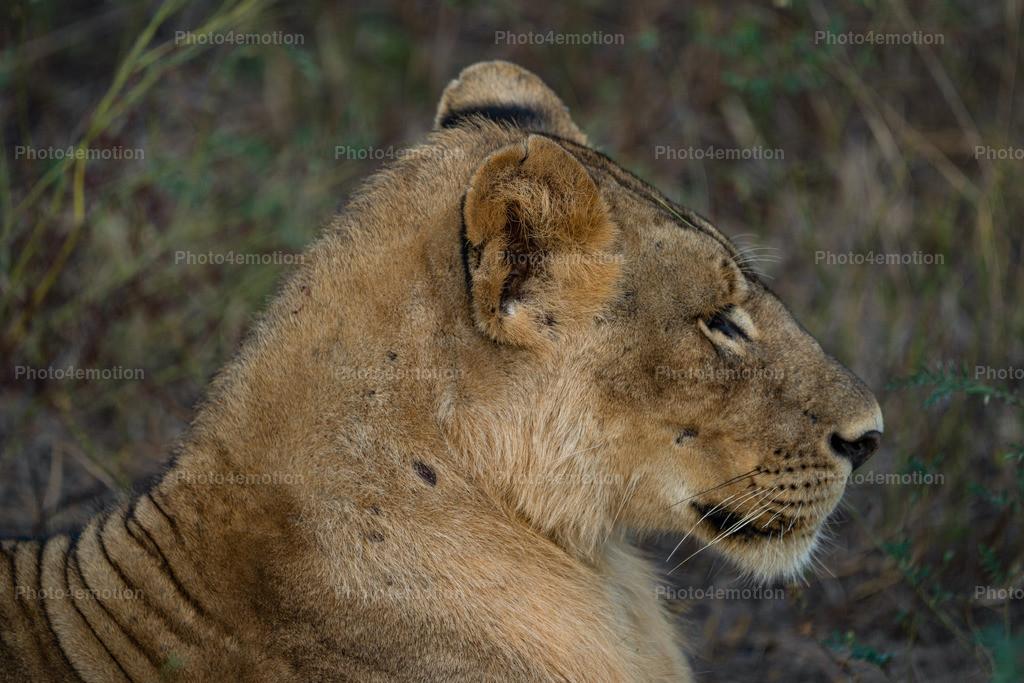 """GRO06187   South Luangwa und Lower Sambesi Nationalparks zählen zu den grossartigsten Nationalparks Afrikas und sind ein unbestrittenes """"MUST"""" für Tier- und Naturliebhaber während einer Sambia-Reise!"""