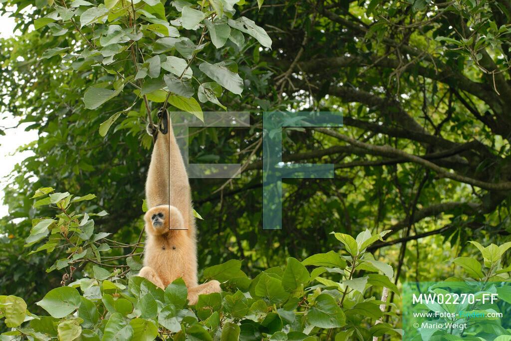 MW02270-FF   Vietnam   Provinz Ninh Binh   Reportage: Endangered Primate Rescue Center   Ein Weißwangen-Schopfgibbon (Weibchen) baumelt an Zweigen. Der Deutsche Tilo Nadler leitet das Rettungszentrum für gefährdete Primaten im Cuc-Phuong-Nationalpark.   ** Feindaten bitte anfragen bei Mario Weigt Photography, info@asia-stories.com **