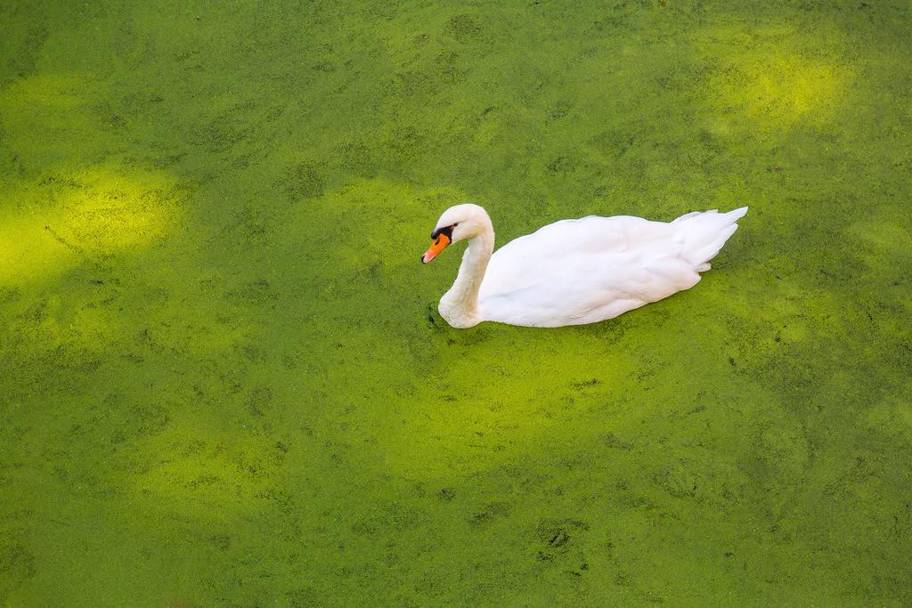 JT-160927-154 | Schwan schwimmt auf einem Teich, der komplett mit Algen, Entengrütze, überzogen ist,