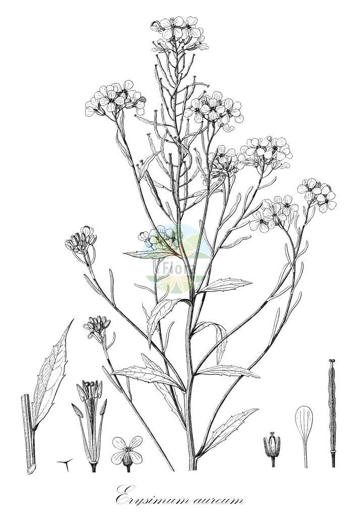 Historical drawing of Erysimum aureum (Wallflower)   Historical drawing of Erysimum aureum (Wallflower) showing leaf, flower, fruit, seed