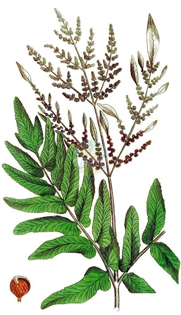 Osmunda regalis (Koenigsfarn - Royal Fern) | Historische Abbildung von Osmunda regalis (Koenigsfarn - Royal Fern). Das Bild zeigt Blatt, Bluete, Frucht und Same. ---- Historical Drawing of Osmunda regalis (Koenigsfarn - Royal Fern).The image is showing leaf, flower, fruit and seed.