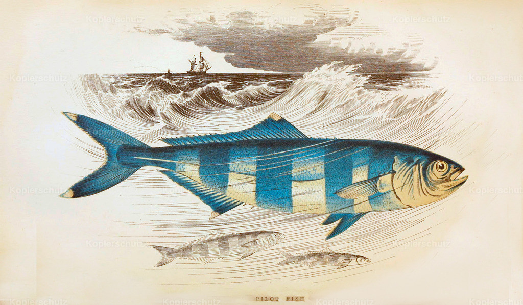 A-History-of-the -Fishes- of- the- British-Islands-Fische-1862-1866 (32)