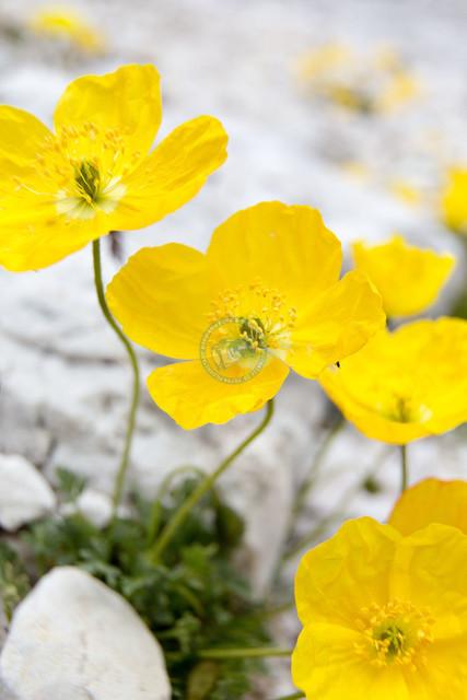 Gebirgsblumen Gebiet 3 Zinnen | ITA, Italien, Südtirol, Dolomiten, Sella Rondo, 15.07.2014, Gebirgsblumen im Gebiet 3 Zinnen