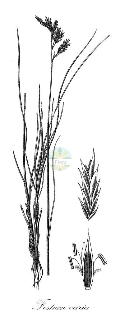 Historical drawing of Festuca varia (Fescue) | Historical drawing of Festuca varia (Fescue) showing leaf, flower, fruit, seed