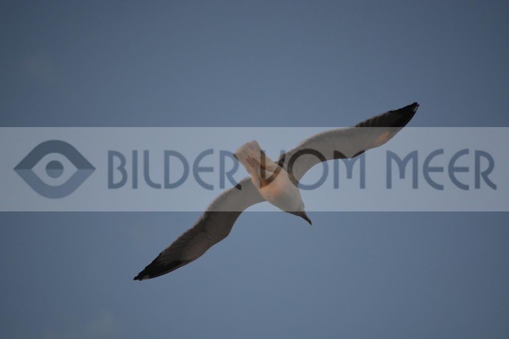 Möwen Bilder | Möwe im Gleitflug in Tanger