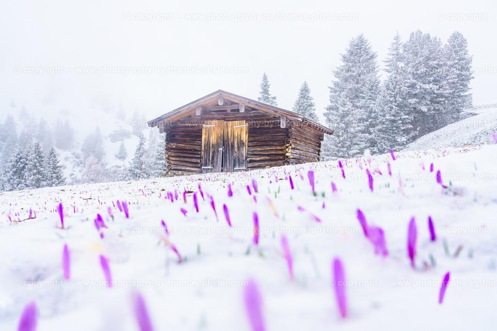 Krokusse im Schnee-3