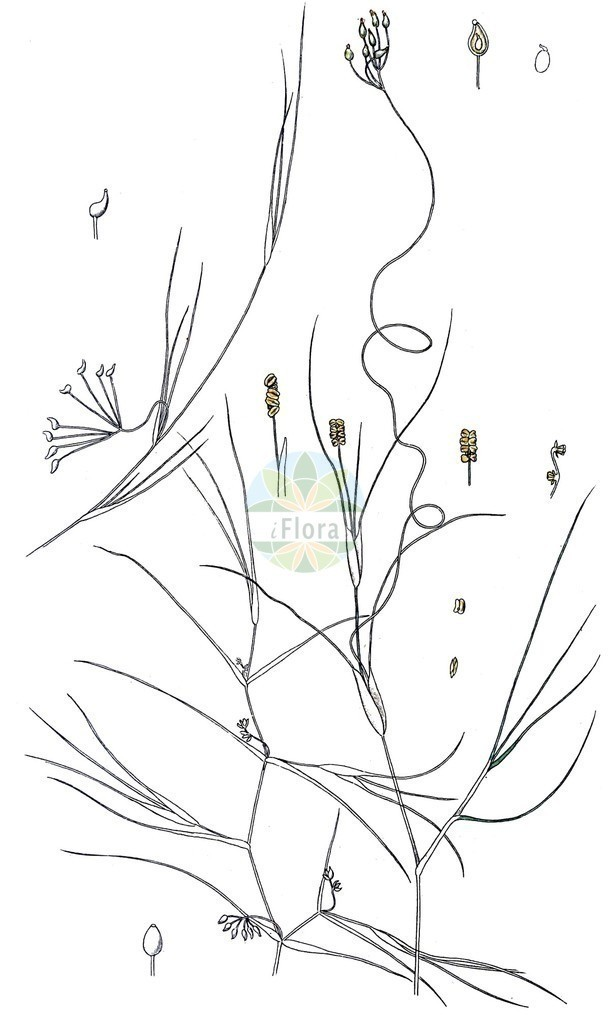Ruppia maritima (Strand-Salde - Beaked Tasselweed) | Historische Abbildung von Ruppia maritima (Strand-Salde - Beaked Tasselweed). Das Bild zeigt Blatt, Bluete, Frucht und Same. ---- Historical Drawing of Ruppia maritima (Strand-Salde - Beaked Tasselweed).The image is showing leaf, flower, fruit and seed.