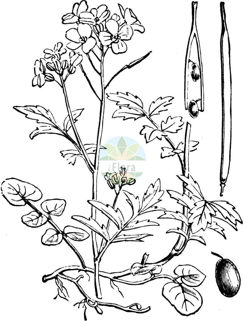 Cardamine amara (Bitteres Schaumkraut - Large Bitter-cress)   Historische Abbildung von Cardamine amara (Bitteres Schaumkraut - Large Bitter-cress). Das Bild zeigt Blatt, Bluete, Frucht und Same. ---- Historical Drawing of Cardamine amara (Bitteres Schaumkraut - Large Bitter-cress).The image is showing leaf, flower, fruit and seed.