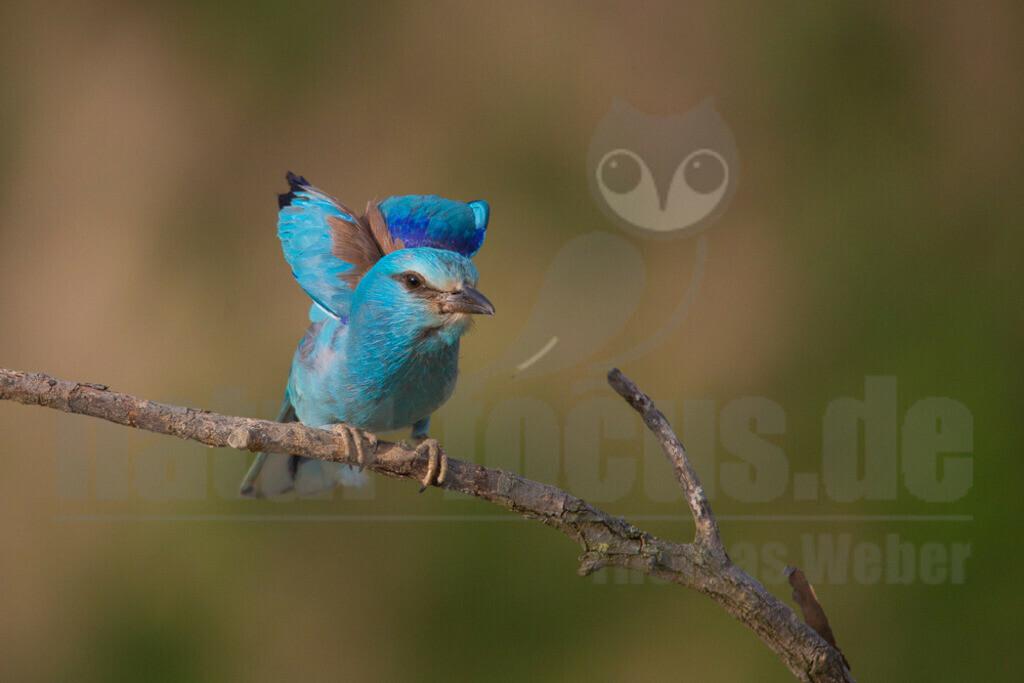 20140520_180310 Kopie   Die Blauracke ist ein etwa hähergroßer Vertreter der Racken. Im deutschen Sprachraum wird die Art auch Mandelkrähe genannt. Der mit türkisfarbenen und azurblauen Gefiederbereichen sehr auffallend gefärbte Vogel ist in Europa der einzige Vertreter dieser Familie.