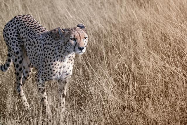 GEPARD | Kenia | Ich liebe das Gesicht und die Farben des Fells. Und die geschmeidigen Bewegungen eines Geparden, sind mit Worten nicht zu beschreiben. Einfach nur schön. Einfach nur elegant.  I love the face and the colors of the fur. And the smooth movements of a cheetah can not be described in words. Just beautiful. Just elegant.