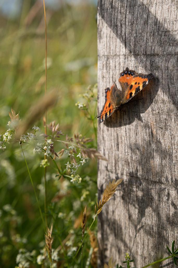Pfauenauge | Schmetterling an einem Pfosten auf der Wiese