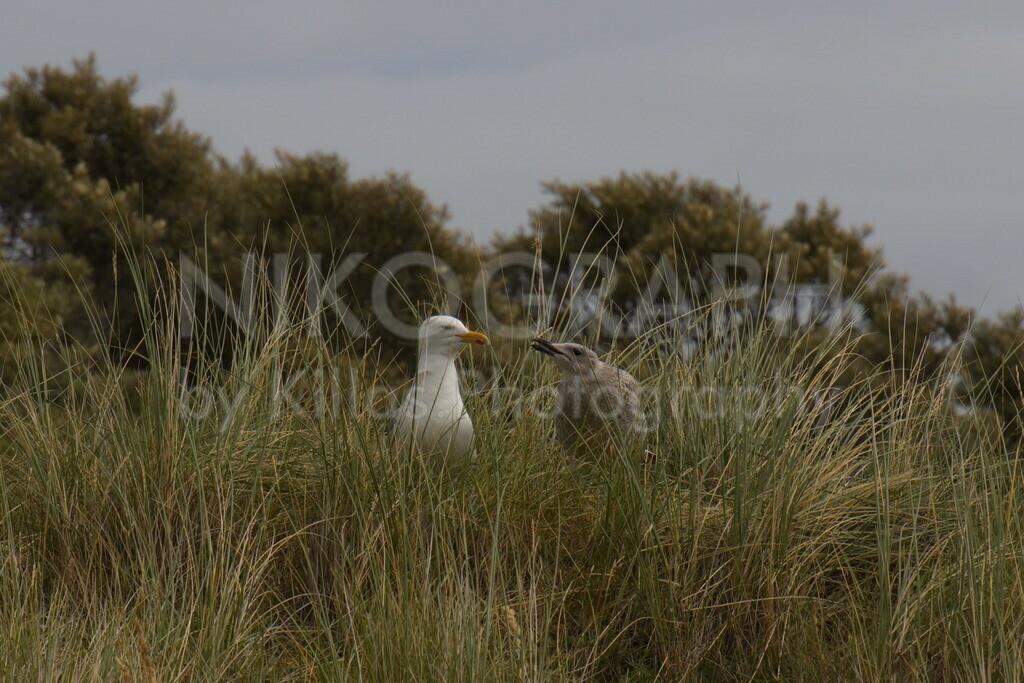 Möwen | Möwen im Dünengras der Nordseeinsel Texel.