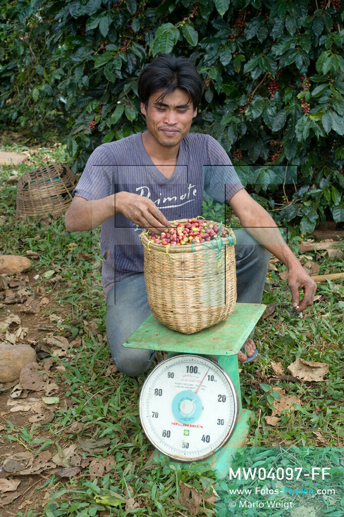 MW04097-FF | Laos | Paksong | Reportage: Kaffeeproduktion in Laos | Ein Bambuskorb mit Kaffeekirschen wiegt 7 kg. In den Plantagen auf dem Bolaven-Plateau werden die Kaffeesorten Robusta und Arabica kultiviert.  ** Feindaten bitte anfragen bei Mario Weigt Photography, info@asia-stories.com **