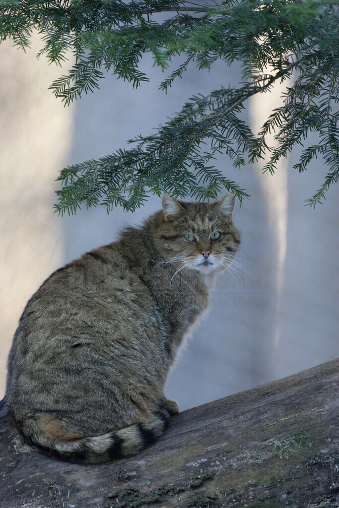 Wildkatze | Die Europäische Wildkatze oder Waldkatze ist die Nominatform der Wildkatze, die in Westeuropa von Schottland bis Portugal und in Osteuropa bis zum Kaukasus vorkommt. Da sie zu den am weitesten verbreiteten Katzen gehört, wird sie in der Roten Liste der IUCN seit 2002 als Nicht gefährdet geführt.