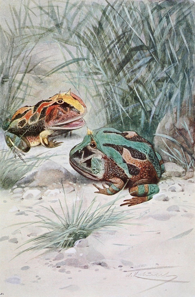 Kuhnert_ F.W. (1865-1926) - Wild Life of the World 1916 - Horned Frog