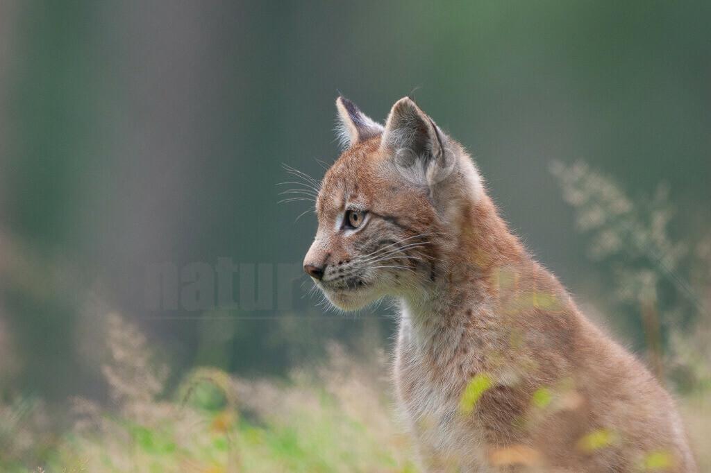 20070831174226   Die Luchse sind eine Gattung der Familie der Katzen. Alle vier heute lebenden Arten kommen auf der Nordhalbkugel vor: Der Eurasische Luchs ist in weiten Teilen Europas und Asiens verbreitet.