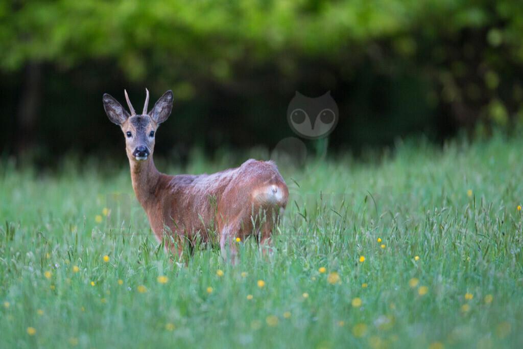 Reh | Das Reh, zur Unterscheidung vom Sibirischen Reh auch Europäisches Reh genannt, ist die in Europa häufigste und kleinste Art der Hirsche. Als Trughirsch ist es näher mit Ren, Elch und dem amerikanischen Weißwedelhirsch verwandt als mit dem in Mitteleuropa ebenfalls heimischen Rothirsch.