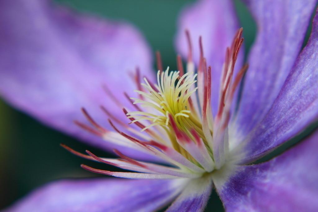 Clematis | Blumenmotiv