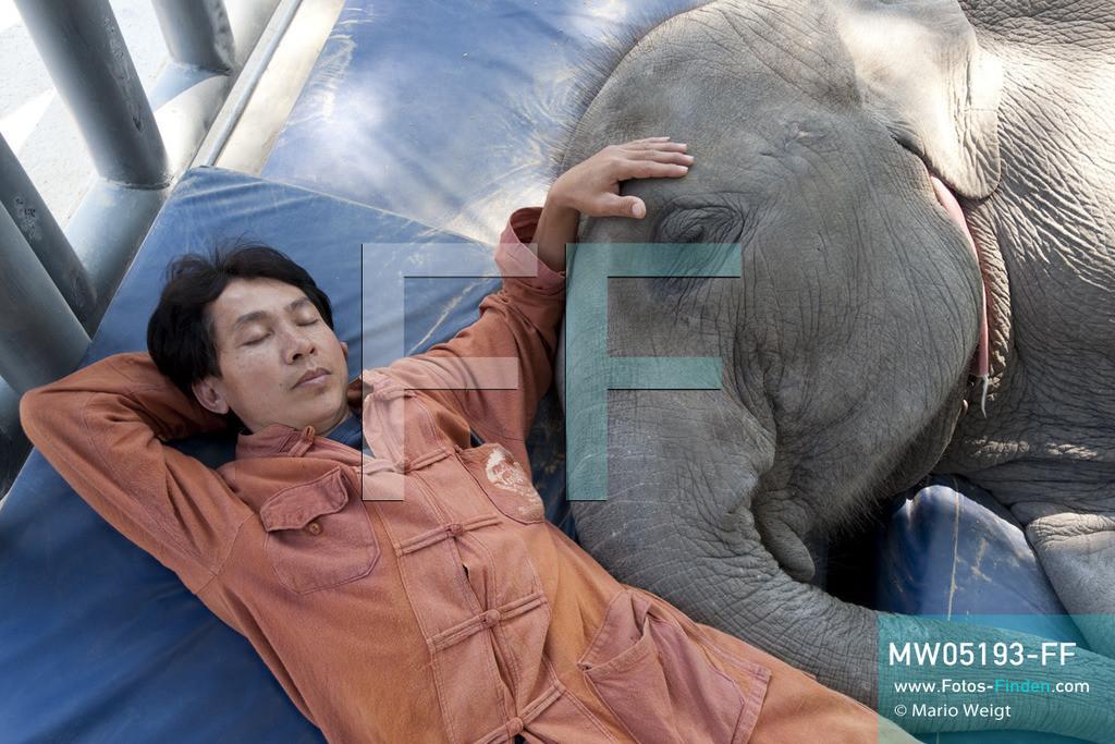 MW05193-FF | Thailand | Lampang | Reportage: Krankenhaus für Elefanten | Tierpfleger Somchai und das vierjährige Elefantenbaby Mosha machen ein Nickerchen.   ** Feindaten bitte anfragen bei Mario Weigt Photography, info@asia-stories.com **