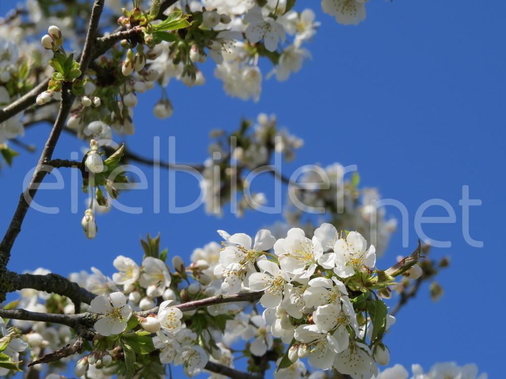 Kirschblüten   fotografiert am Immerather Maar in der Vulkaneifel