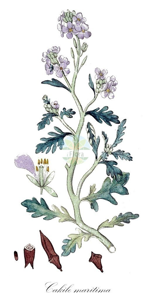 Historical drawing of Cakile maritima (Sea Rocket) | Historical drawing of Cakile maritima (Sea Rocket) showing leaf, flower, fruit, seed