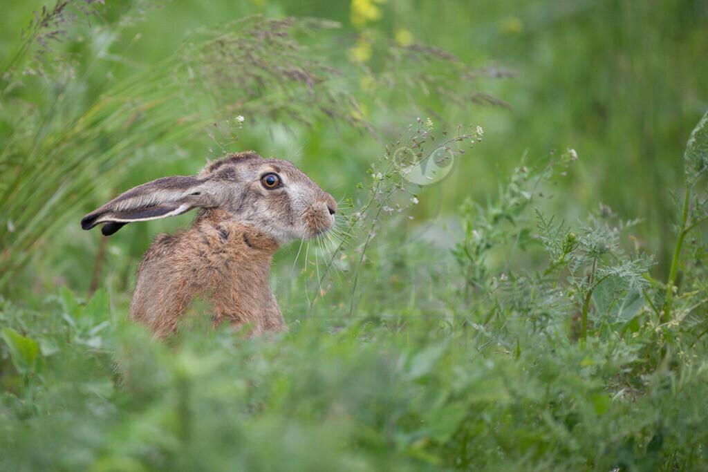 20110527_14092581188    Der Feldhase ist ein Säugetier aus der Familie der Hasen. Die Art besiedelt offene und halboffene Landschaften. Das natürliche Verbreitungsgebiet umfasst weite Teile der südwestlichen Paläarktis; durch zahlreiche Einbürgerungen kommt der Feldhase heute jedoch auf fast allen Kontinenten vor.