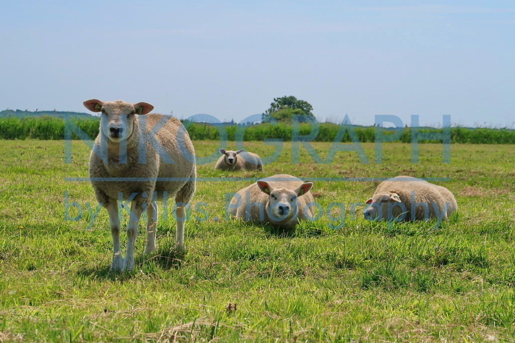 Texelschafe auf einer Weide   Die Schafe dürften die einwohnerstärkste Population von Texel darstellen. Nahezu auf jedem Deich, jeder Wiese und Weide sind die Schafe anzutreffen. Die Schafzucht gehört zu den traditionellen Wirtschaftszweigen auf Texel. Es gibt dort in den verschiedenen Läden und Boutiquen nahezu alle Produkte, die man aus Schafen herstellen kann. Angefangen von Wollsocken, Wollpullovern, Handcreme und vieles mehr. Das Lammknuddeln, welches viele Schafzüchter anbieten ist besonders bei Kindern sehr beliebt.
