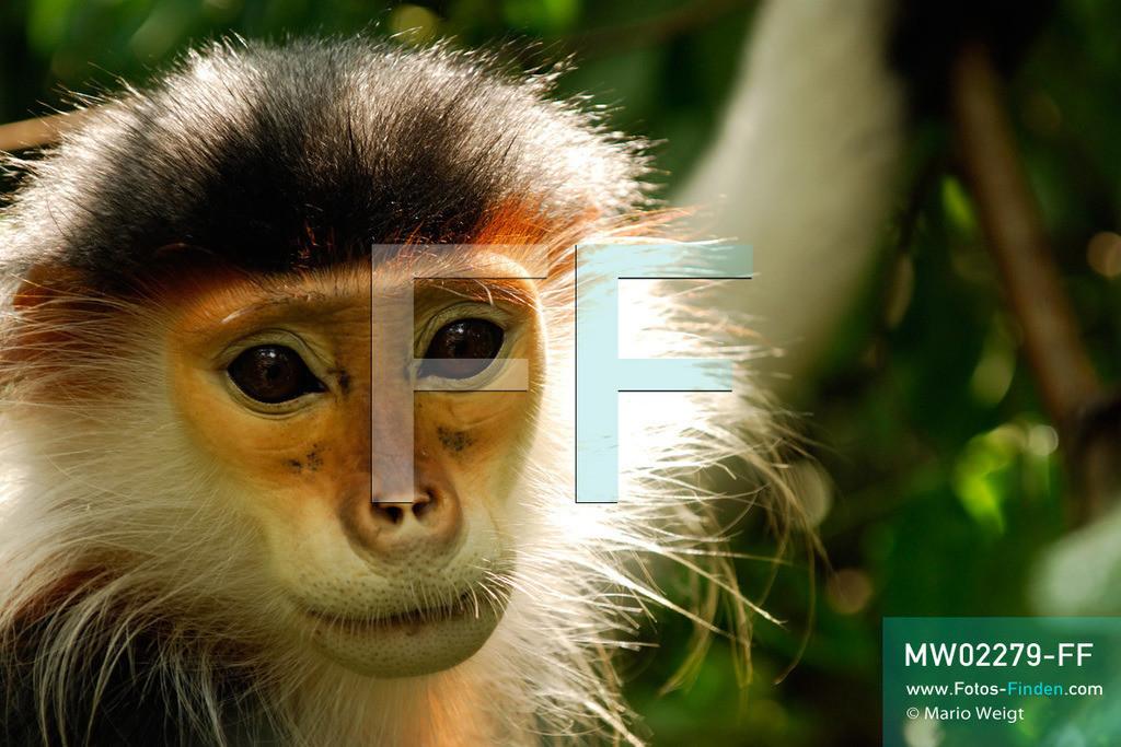 MW02279-FF | Vietnam | Provinz Ninh Binh | Reportage: Endangered Primate Rescue Center | Porträt eines Rotgeschenkligen Kleideraffen. Der Deutsche Tilo Nadler leitet das Rettungszentrum für gefährdete Primaten im Cuc-Phuong-Nationalpark.   ** Feindaten bitte anfragen bei Mario Weigt Photography, info@asia-stories.com **