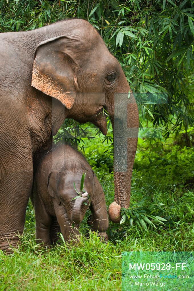 MW05928-FF | Thailand | Goldenes Dreieck | Reportage: Mahut und Elefant - Ein Bündnis fürs Leben | Elefantenmutter mit Baby beim Fressen im Dschungel   ** Feindaten bitte anfragen bei Mario Weigt Photography, info@asia-stories.com **