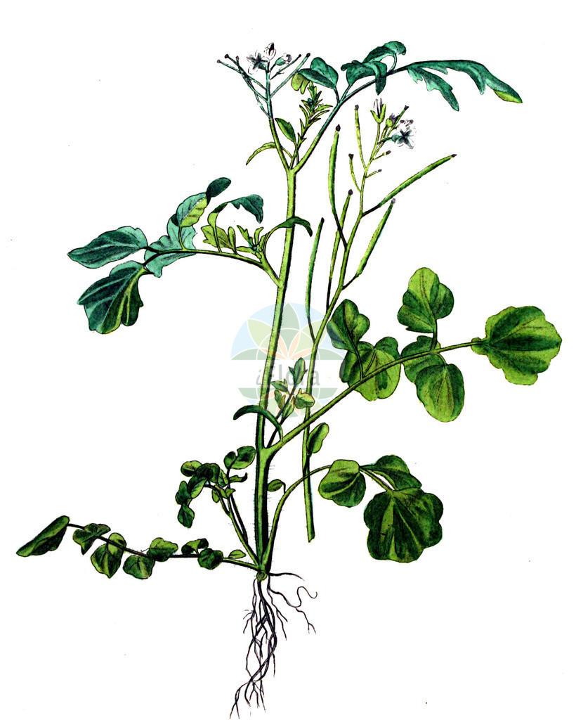 Cardamine flexuosa (Wald-Schaumkraut - Wavy Bitter-cress) | Historische Abbildung von Cardamine flexuosa (Wald-Schaumkraut - Wavy Bitter-cress). Das Bild zeigt Blatt, Bluete, Frucht und Same. ---- Historical Drawing of Cardamine flexuosa (Wald-Schaumkraut - Wavy Bitter-cress).The image is showing leaf, flower, fruit and seed.