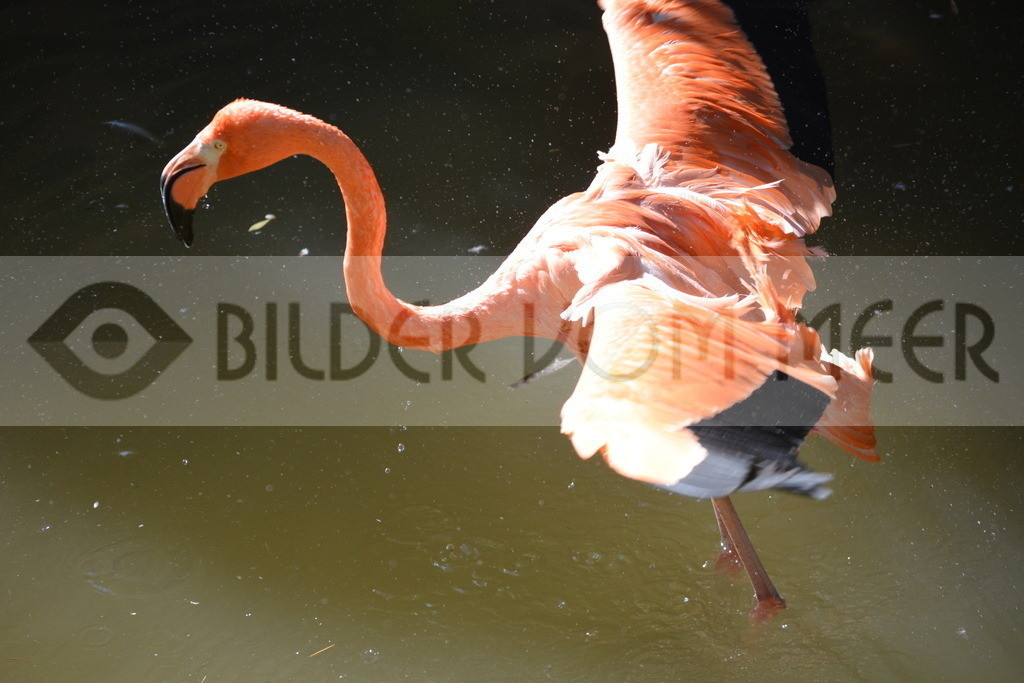 Flamingo Bilder | Roter Flamingo Bilder Italien