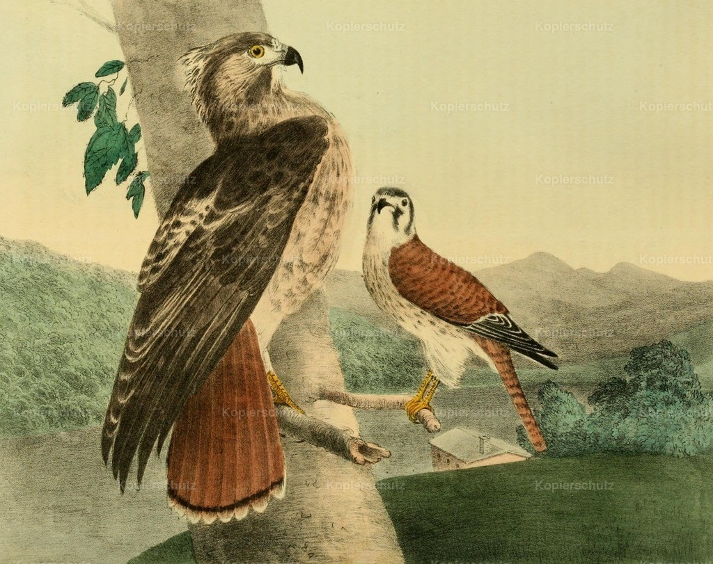 Doughty_ T. (1793-1856) - Cabinet of Natural History 1830 - Hawks