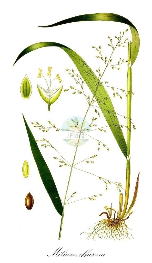 Historical drawing of Milium effusum (Wood Millet) | Historical drawing of Milium effusum (Wood Millet) showing leaf, flower, fruit, seed