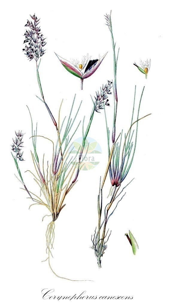 Historical drawing of Corynephorus canescens (Grey Hair-grass) | Historical drawing of Corynephorus canescens (Grey Hair-grass) showing leaf, flower, fruit, seed